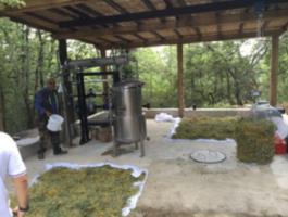 Distillation des fleurs d'immortelle